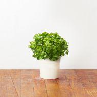 Zestaw 3 kapsułek z nasionami pietruszki 0,047kg Click and Grow